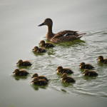 Duck and ducklings, Bucharest, Romania