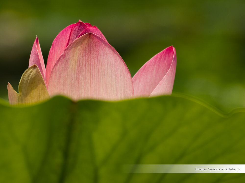 Lotus, Bucharest, Romania